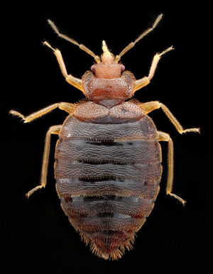 Adult male bed bug