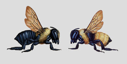 Carpenter bee vs bumble bee