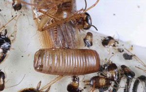 Can cockroaches lay eggs