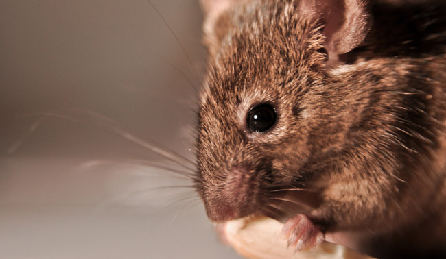 House Mouse in Garage