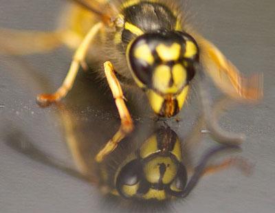 wasps car radiator grille