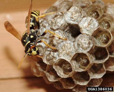 European Paper Wasp mimic yellowjackets