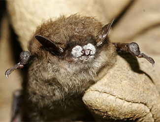 Little brown bat; close-up of nose with fungus