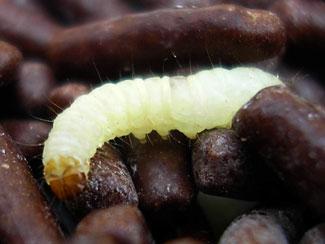 common stored food pest larva
