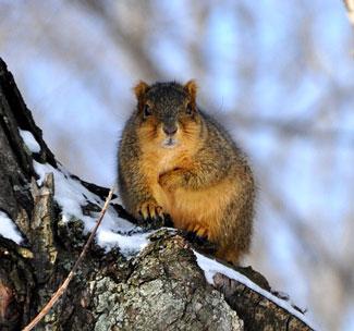 squirrel nest sites in tree
