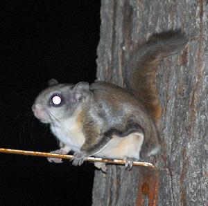 flying squirrel on ledge