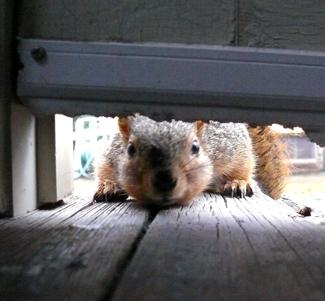 squirrel trying to get under door