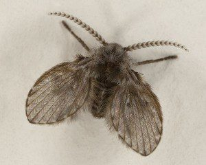Drain flies (1/8-inch long) have fuzzy wings and are also called moth flies