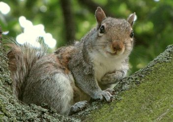 Squirrels Are Unwelcome Winter Guests In Attics Colonial