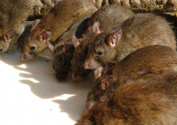 Boston Condo Was Home To Hundreds Of Rats Colonial Pest