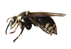 A Yes You Are Correct These Called Digger Bees And They Part Of The Large Family Apidae That Also Includes Honeybees Bumblebees Carpenter