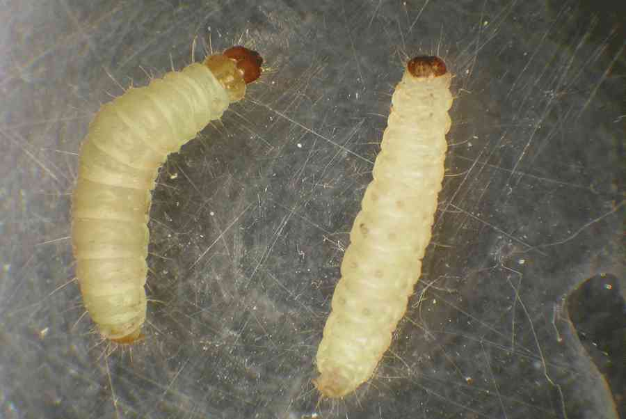 Indian Meal Moth Larvae