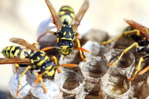 wasps-in-nest