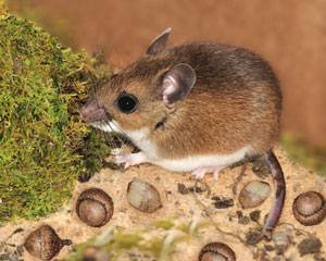 Pictures of deer mice droppings