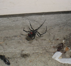 Black widow spider in New England