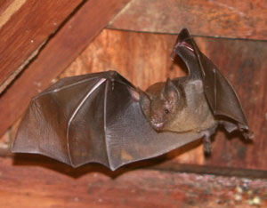 Brown bat in the attic