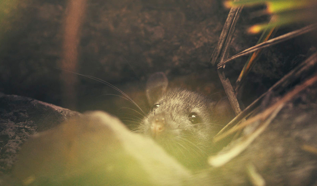 Brown rat in hole
