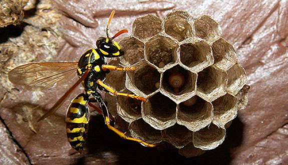 Yellowjacket nest