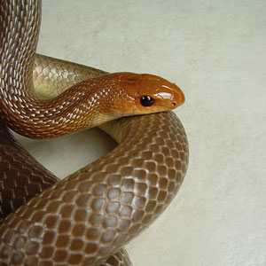 Brown snake in house