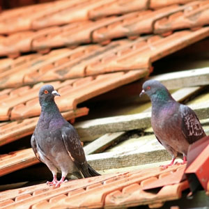 Pigeon droppings on roof are harmful