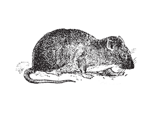 Rats and the plague