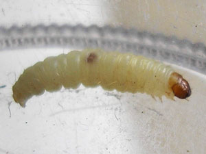 White Worms With Black Heads In Dog Poop