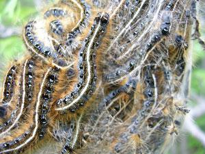 caterpillars in spring build silk webs