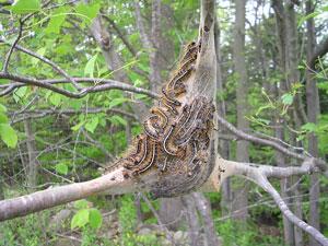 caterpillar silk web