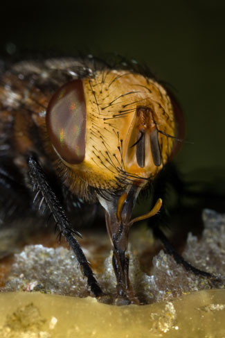 fly sponging mouthparts