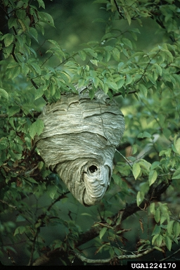 mosts wasps won't used their old nests again