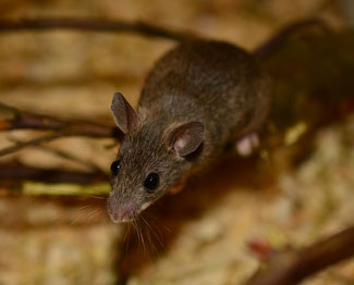 mouse poop or droppings can determine if you have an active infestation