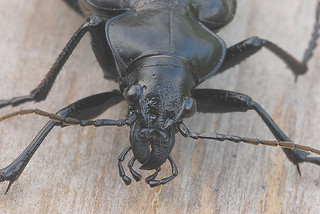 ground beetles face and front of body
