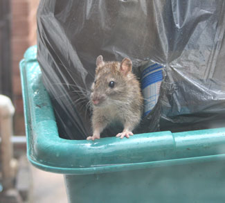 Mouse Stealing from Trash