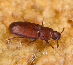 flour beetle in grains