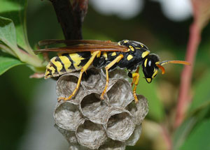 paper wasp queen building new nest