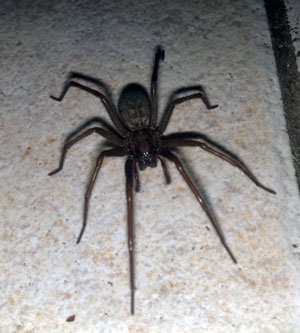 big brown spider on kitchen floor
