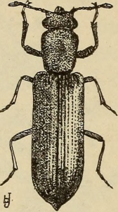 Illustration of a Powder Post Beetle