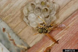 paper-wasp-building-nest