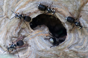 Baldfaced Hornets- Dolichovespula Maculata