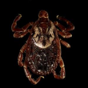 American Dog Tick (Dermacentor variabilis)