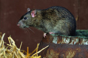 norwegian rat on a barrel
