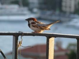 Remove a Sparrow's Nest - House Sparrow