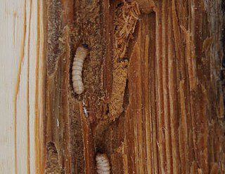 How Serious Is An Old House Borer Infestation In A Home