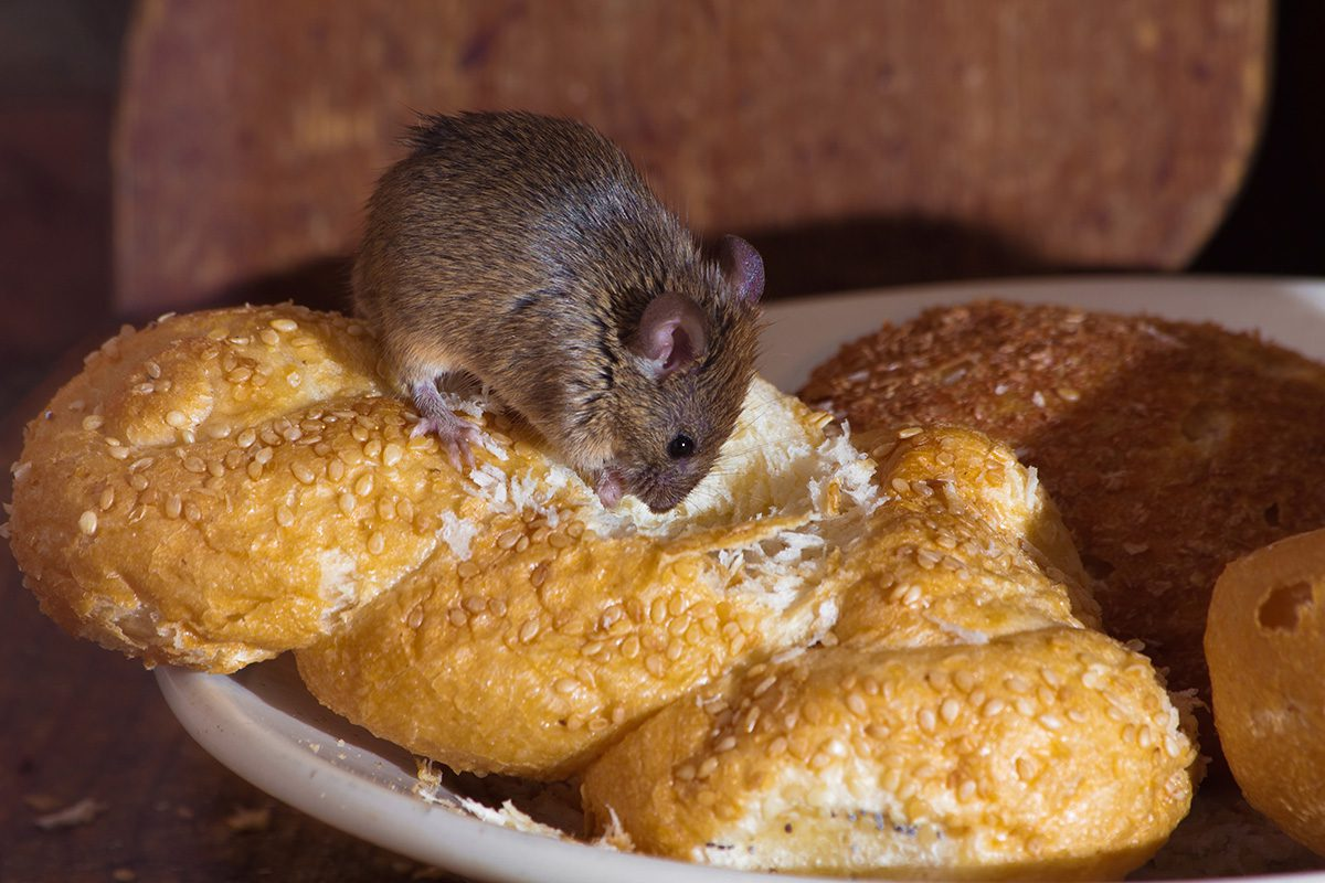 Food Invites Rodents
