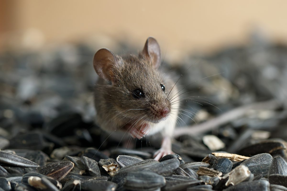 Mice & Rodent Pest Control in MA & NH   Colonial Pest