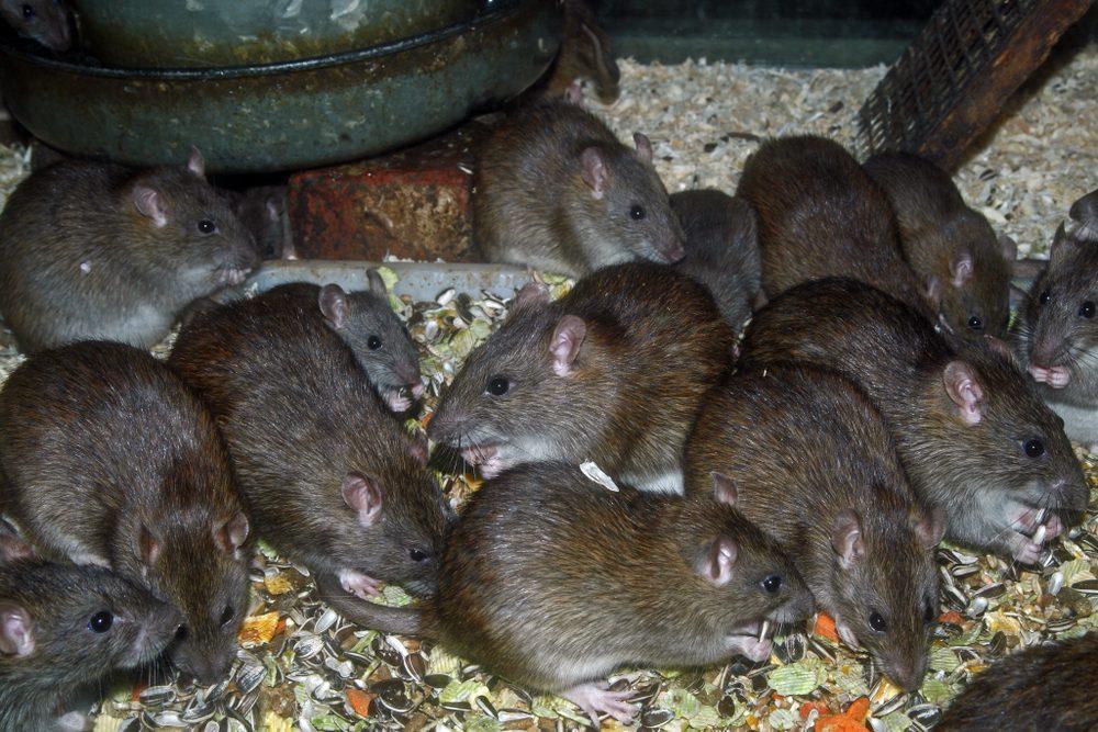 Rat Reproduction