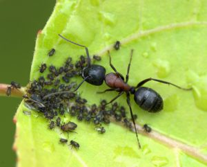 ants-on-aphid