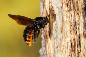 carpenter-bee