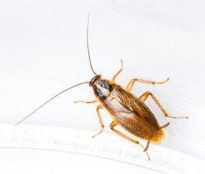german-cockroach