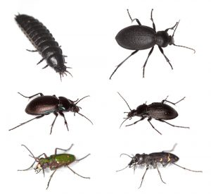 ground-beetles